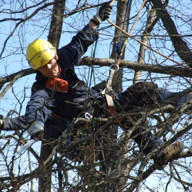 medžio genėjimas lajos formavimas bebriukai