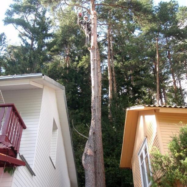 medžio pjovimas dalimis prie namų vilniuje bebriukai arboristai