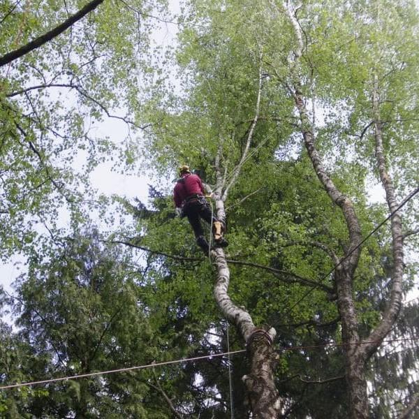 išlūžusio medžio tvarkymas saugus pjovimas dalimis bebriukai