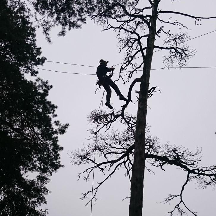 nudžiūvusio medžio pjovimas kapinėse arboristai bebriukai